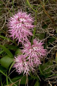 Orchis italica3