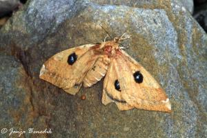 Rjavi pavlinček (Aglia tau)